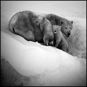 1647-Polar_bear_with_cubs_Baffin_Island_Canada_2016_Laurent_Baheux