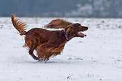 Irish setter playing in snow