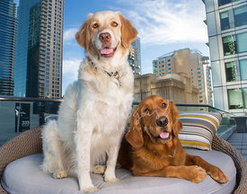 Two Smiling Retriever Dogs In Chair on Rooftop Deck with Buildings Behind Them