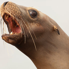 California Sea Lion wildlife photos