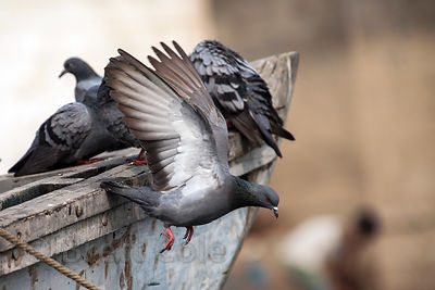 A pigeon taking off from a fishing boat, Varanasi, India.