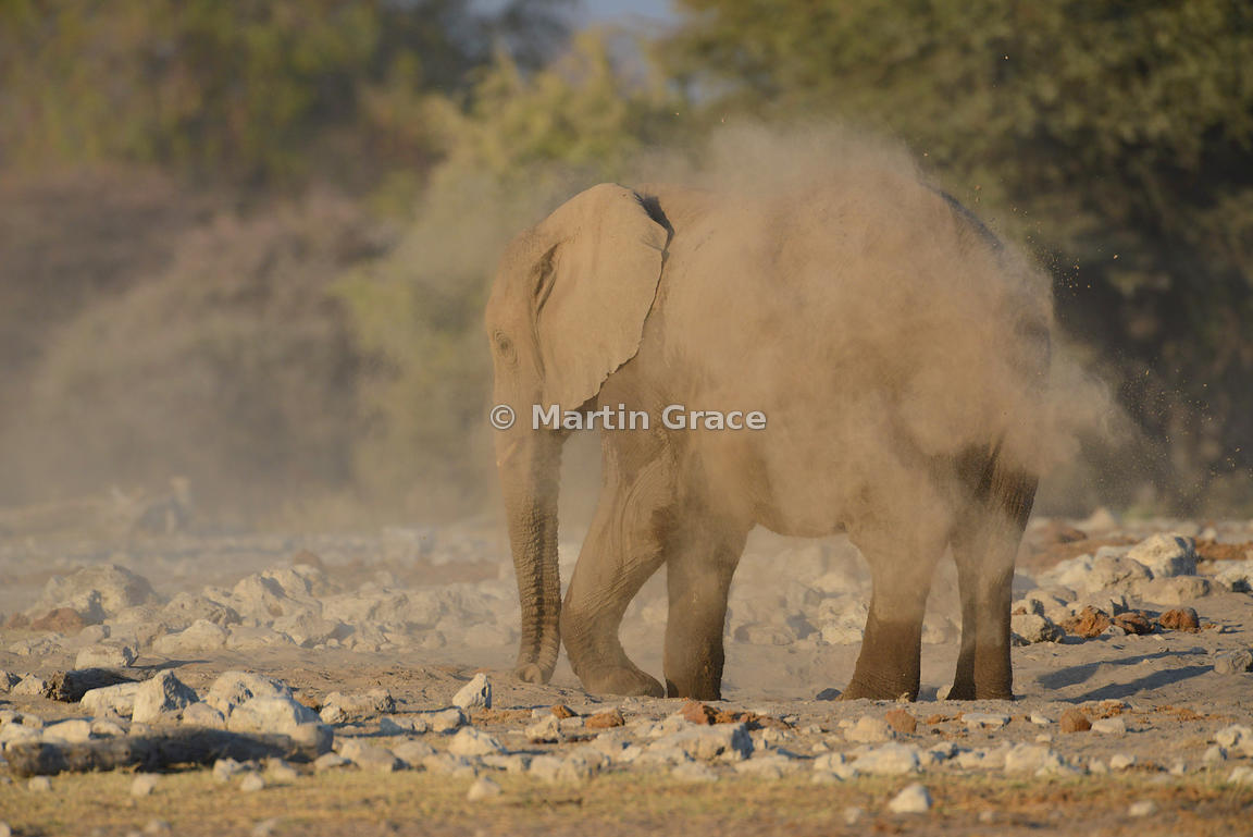 African Elephant (Loxodonta africana) dust-bathing, Etosha National Park, Namibia: Image 5 of 5