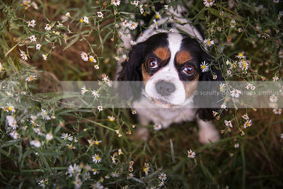 cute small spaniel dog with eyes staring upward from flowers