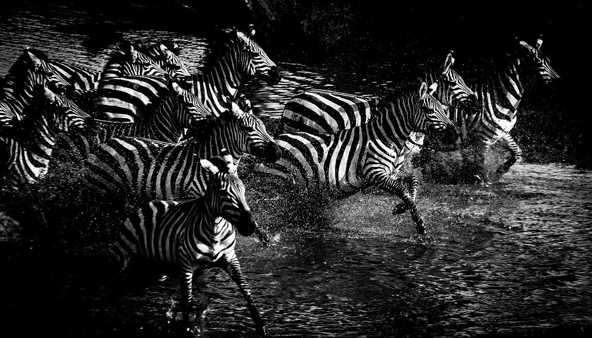 1855-Zebras_cut_across_the_river_Tanzani_2007_Laurent_Baheux