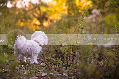 groomed small white dog turned away standing in weeds