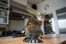 Brown Tabby Sitting on Counter Looking Back