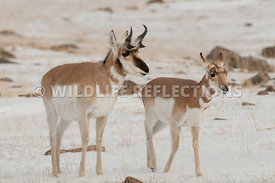 pronghorn_snow_buck_doe0520130119_