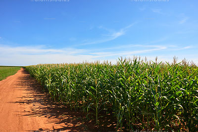 Path of land on a corn plantation.