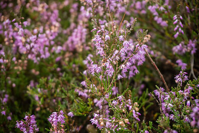 Friendly modest flowers of Common Heather