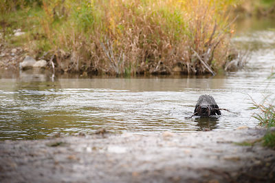 black shaggy dog swimming in river with stick