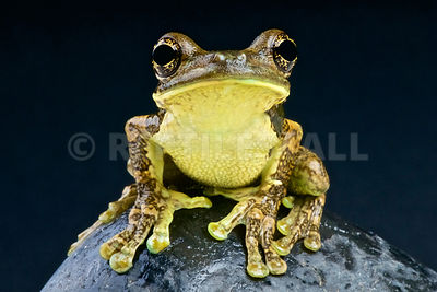 Pepper tree frog (Trachycephalus venulosus) photos