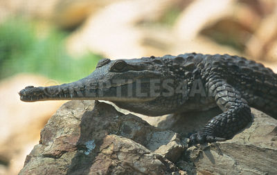 Australian freshwater crocodile (Crocodylus johnsoni) photos
