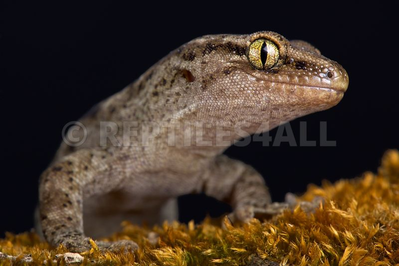 Canterbury gecko (Woodworthia brunneus) small form