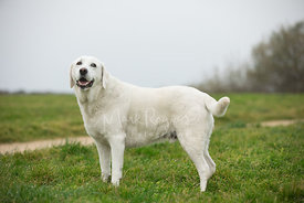 Smiling White Labrador Standing in Grassy Field Looking toward Camera
