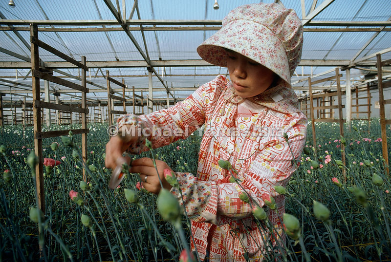 Business blooms in California's Monterey County, where 61 Japanese-American families dominate the cut-flower industry. At a nursery outside Salinas, Masako Hirai tapes buds to prevent splitting.