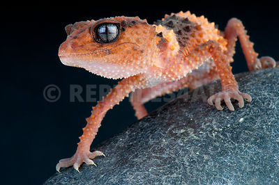 Banded rough knobtail gecko (Nephrurus wheeleri cinctus) photos