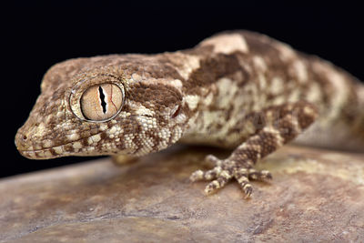 Spacious rock gecko (Trachydactylus spatalurus)  photos