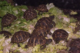 Turtle species, juveniles