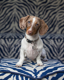Cute brown and white piebald dachshund sitting on blue zebra pattern ottoman