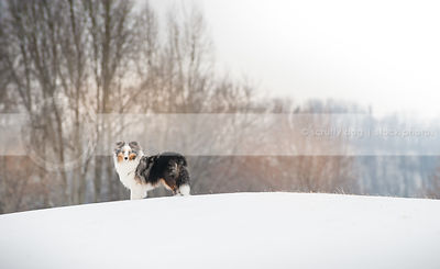 pretty tricolor sheltie dog looking back standing on ridge in snow