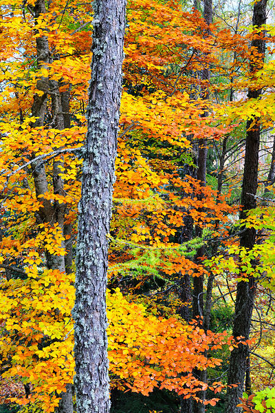 Beech trees in autumn time. Serra da Estrela Nature Park, Portugal