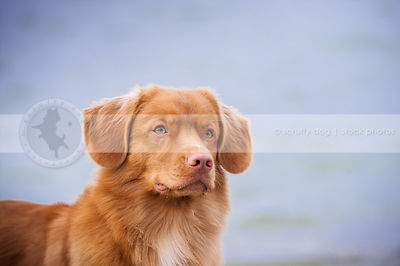 headshot of pretty red dog with bokeh background