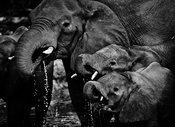 8956-Elephants_drinking_in_the_river_Botswana_2009_Laurent_Baheux
