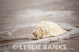 Conch shell at Virginia Beach
