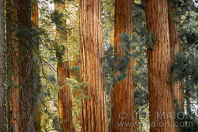 Sequoia redwood trunks