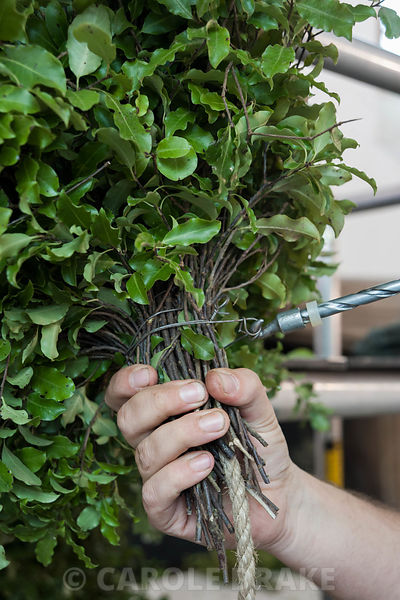 Head gardener David Bouch attaching pittosporum to the rope core of the Christmas garland in the Great Hall. Cotehele, St Dominick, nr Saltash, Cornwall, UK