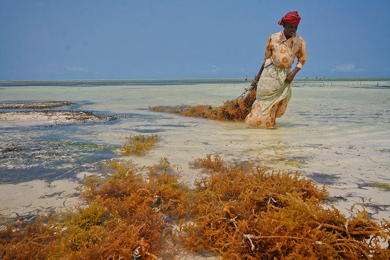 A woman harvests seaweed in the shallow waters of Matemwe, Zanbar. Seaweed farming was introduced to Zanzibar in 1988 and now employs 25,000 people, mostly rural women. More than 150,000 people indirectly benefit from the seaweed industry on the island.