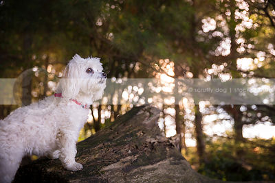 portrait of small white dog standing at attention on log in trees