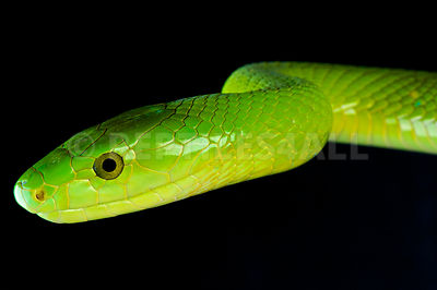 Green mamba / Dendroaspis angusticeps photos