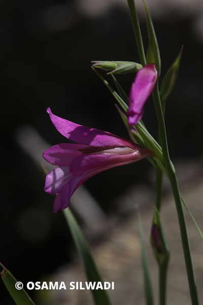 The Wildflowers of Palestine - Gladiolus italicus