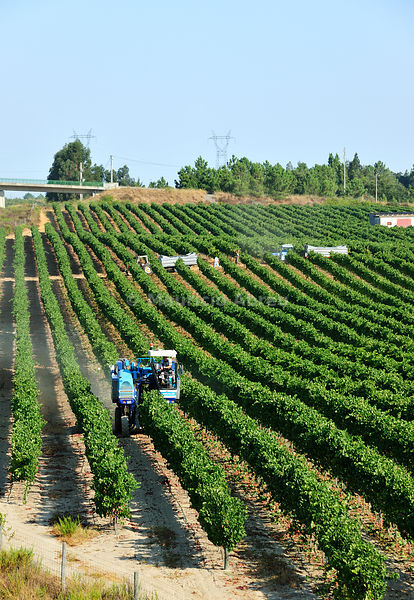 Mechanical grape harvesting in Palmela. Portugal (NR)