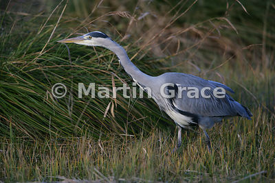 Grey Heron (Ardea cinerea), Leighton Moss (RSPB), Carnforth, Lancashire, United Kingdom
