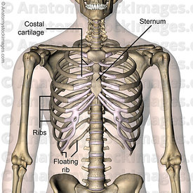 torso-ribcage-ribs-costae-costal-cartilage-floating-rib-sternum-front-skin-names