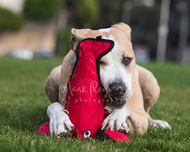 Tan and White Pitbull Chewing on Lobster Toy Outdoors on Grass