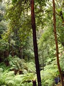 Australian-Rainforest
