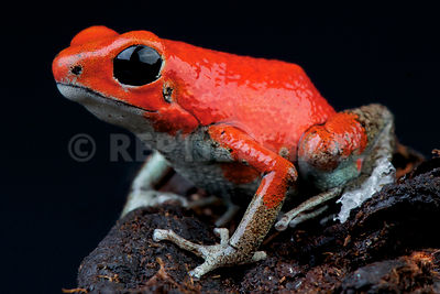 "Strawberry dart frog / Oophaga pumilio ""Quebrada Sal"" photos"