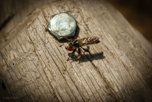 Robber fly with ladybug