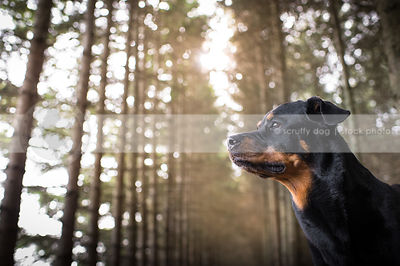 portrait of alert black and tan dog in pine trees with sunflare