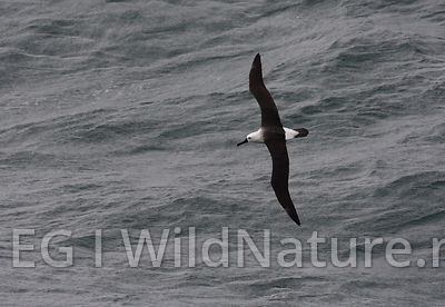 Indian yellow-nosed albatross - South Atlantic