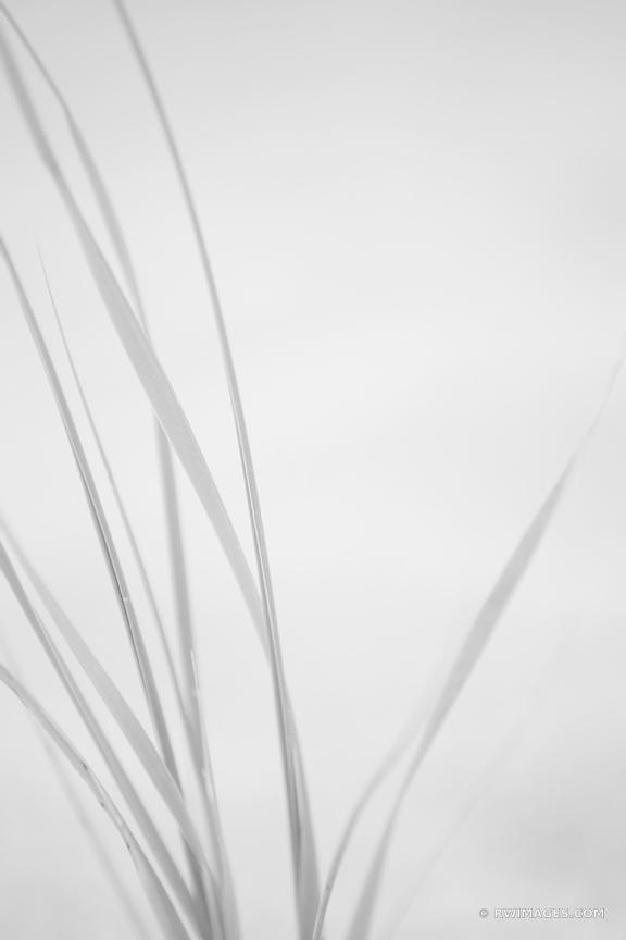 NATURE ABSTRACT BEACH GRASS CAPE COD EASTHAM MASSACHUSETTS BLACK AND WHITE VERICAL