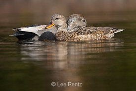 Gadwall, Anas strepera, Female and Male in Seattle Arboretum