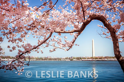Cherry Blossoms photos