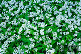Bear garlic (allium ursinum)  - Europe, Germany, Thuringia, Gotha, Gotha - digital
