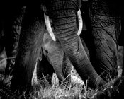 7765-Baby_elephant_between_the_legs_of_its_mother_Kenya_2013_Laurent_Baheux