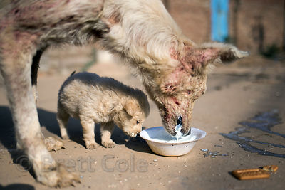 Street dog puppy and its mother (with severe mange) in Pushkar, Rajasthan, India. Taken one day before the puppy perished from sickness.