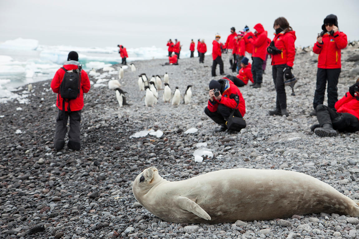 A weddell seal lying  and passengers from the National Geographic Explorer walking on the beach of the Atlantic Peninsula.